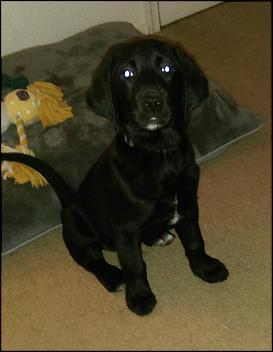 Labrador Retriever Dogs Chat Forum