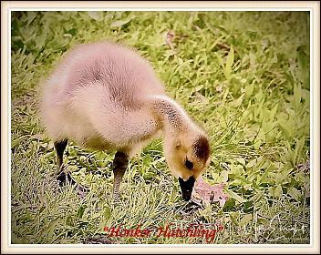 -dsc04920resized_fotor-honker-hatchling-1-jpg